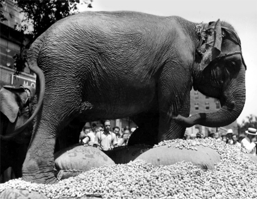 image of elephant eating peanuts