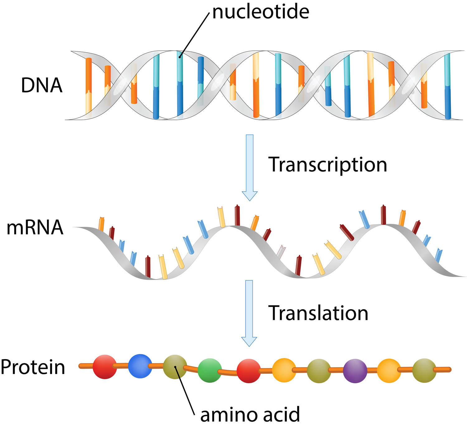 image depicting DNA transcription to mRNA and mRNA translation to protein